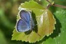 Бабочка Голубянка лесная