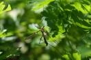 Танец комара долгоножки