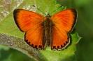 Бабочка Червонец