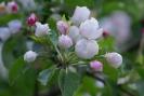 Цветет яблоня