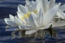 Нимфея белая лилия