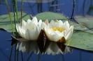 Белая лилия водяная