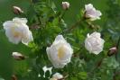 Кустовая роза (белый шиповник)